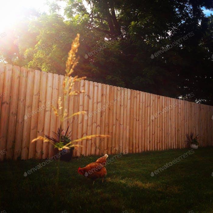 Цыплята во дворе