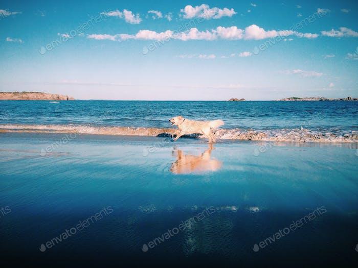 My dog Ollie the Golden Retriever running along the beach.