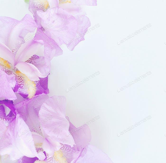 the iris flower 💜