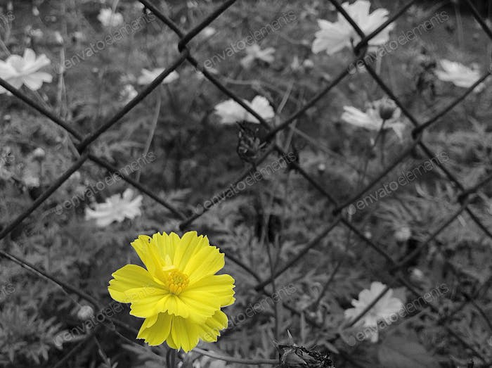 Close up of yellow flower near chainlink fence