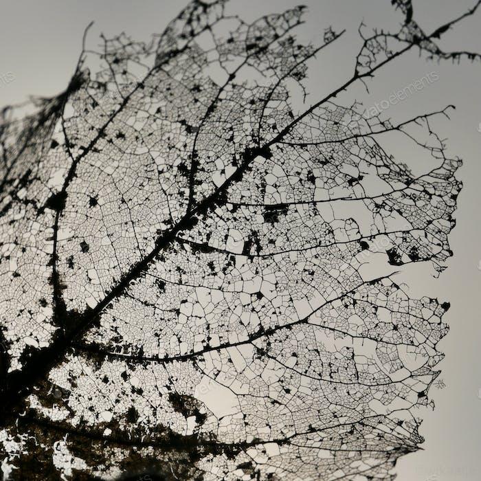 Leaf veins of a leaf