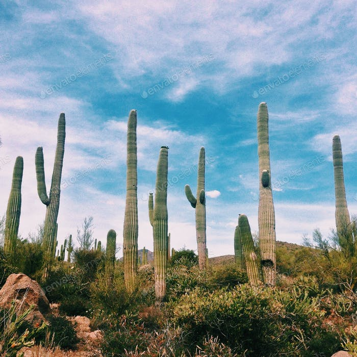 Cactus de Arizona