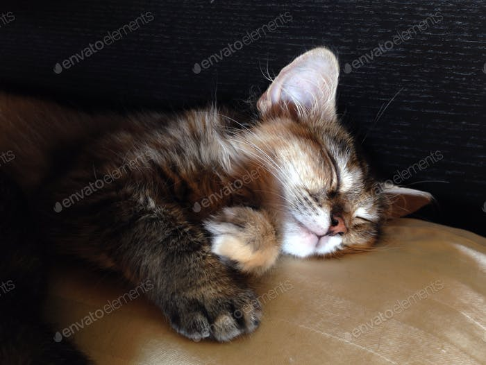 Dreaming of shoelaces and unfolded laundry. Tawny, a 3-month-old Siberian kitten.