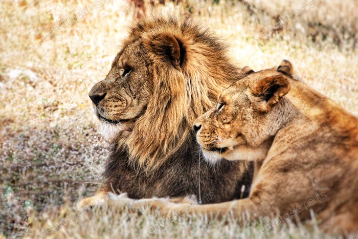 Couple of lions, lion and lioness laying in the  savannah