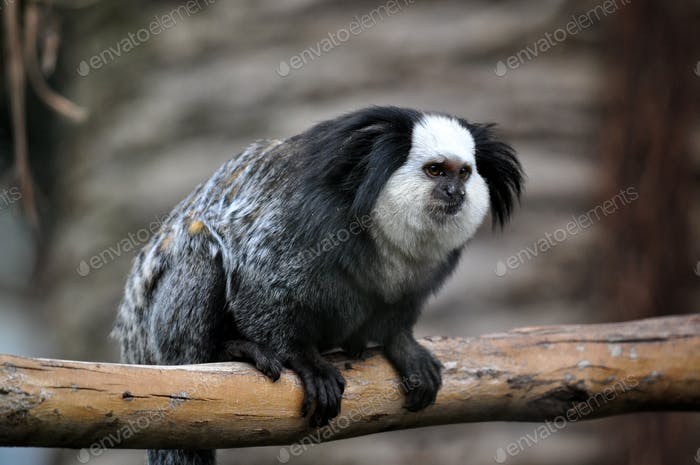 A cute of Common Marmoset or White - eared Marmoset.  ❤️  nominated 💔