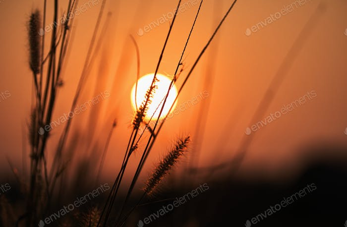 Silhouette of the wilted plants