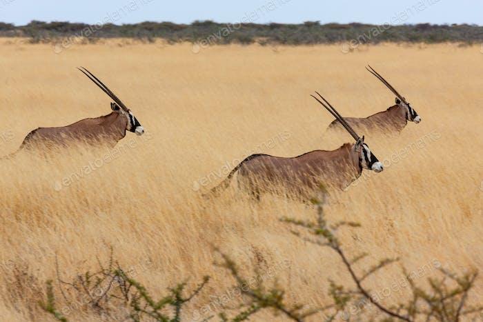 Three Gemsbok (Oryx gazella) walking in the grasslands of Etosha National Park in northern Namibia