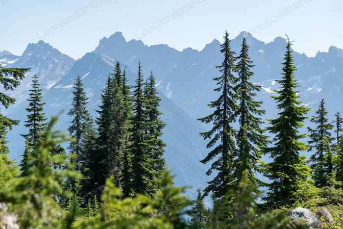 Pine trees with distant mountain ridge