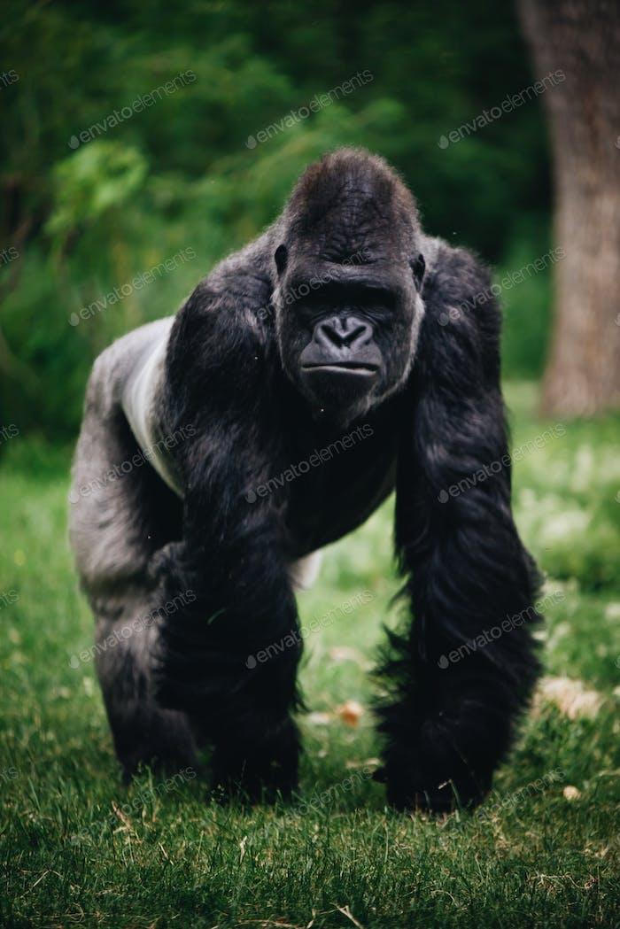 Black male silverback gorilla monkey animal wildlife at the zoo