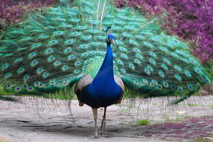 Peacock spreading his feathers.