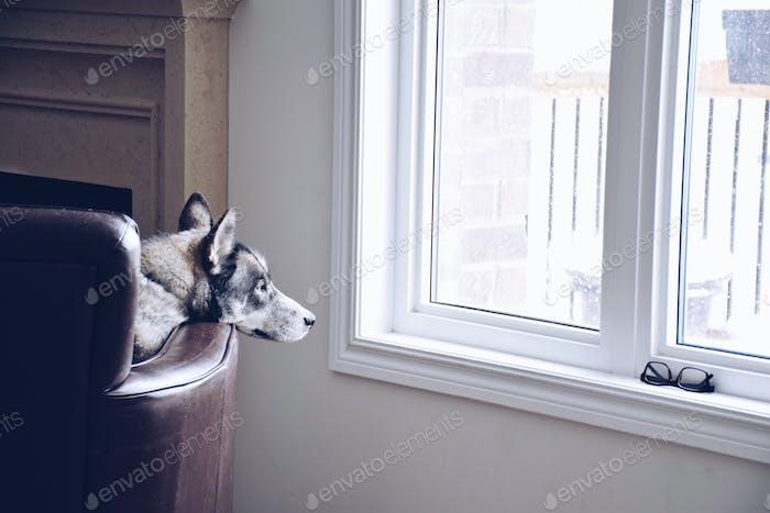 Hund liegt auf einem Sessel und schaut aus dem Fenster und beobachtet Schnee oder Regen fallen