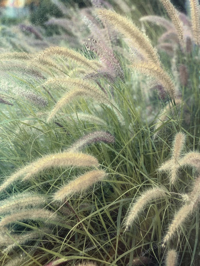 Wild grasses and plumes in an open field