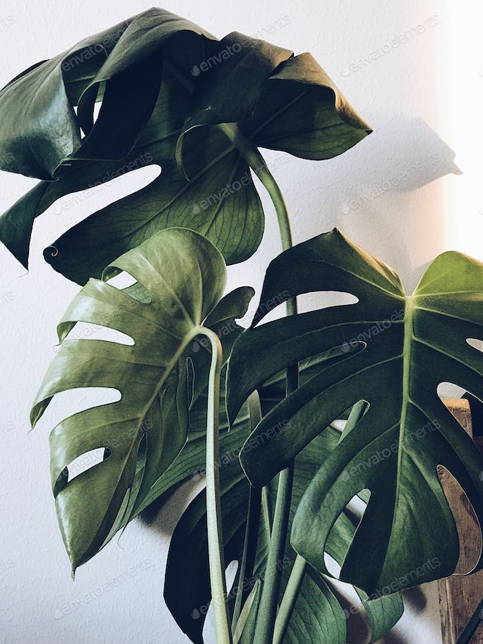 Monstera and white wall