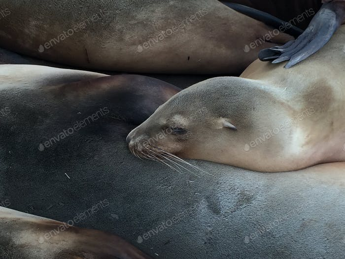 Sleeping baby Sea Lion on his mother's tummy.
