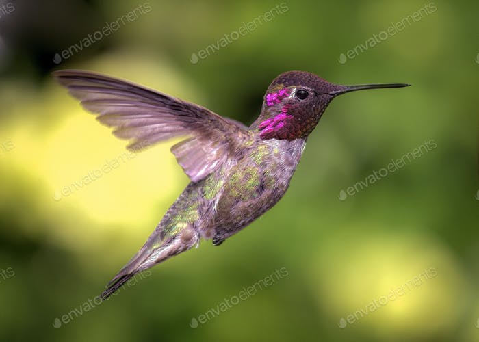 One of the hummingbirds that live, and fly through, my backyard.