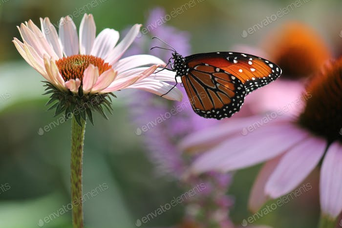 Monarch butterfly gently landing on a pink daisy