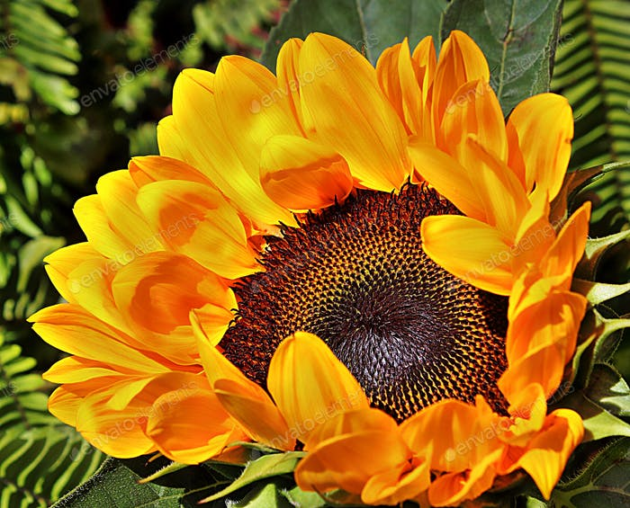 Bright bold and dynamic, the sunflower!