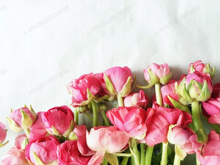 Looking down at a pile of hot pink ranunculus fresh flowers on a white background.