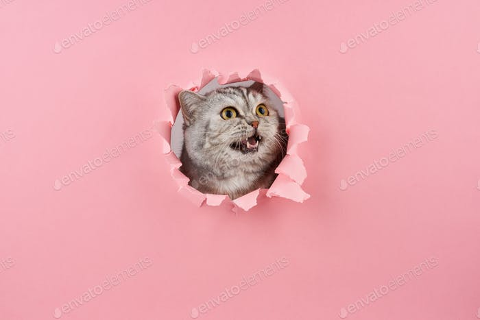 kitten screaming with fangs in a wrapped hole in the pink cardboard closeup
