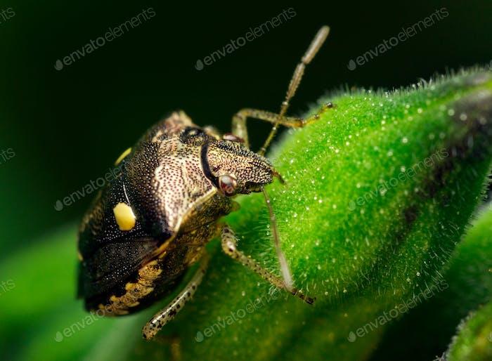Stink bug on a green leaf
