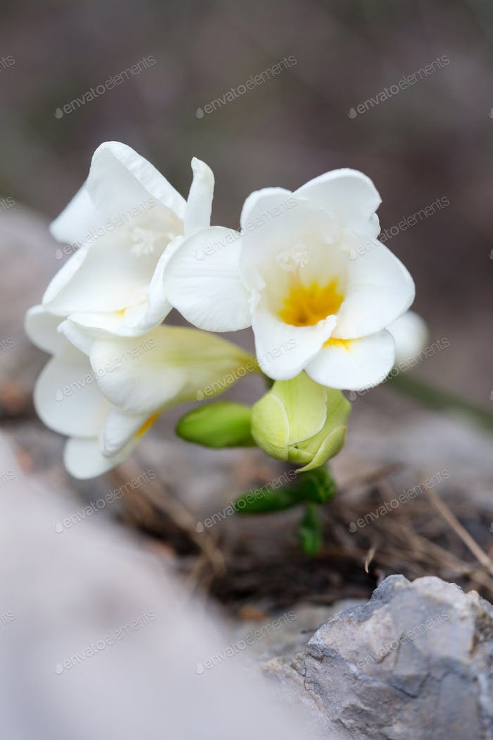 White freesia flowers in bloom during spring