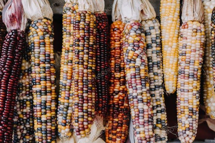 Indischer Mais