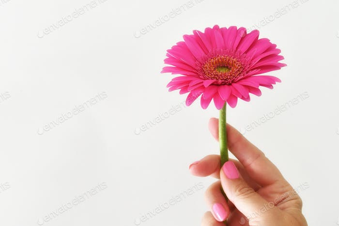 Female holding a pink gerber daisy , simple fresh minimal, simple pop of color