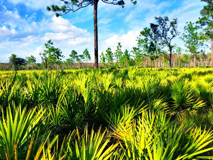 Saw palmetto fields at the Disney Nature Preserve at St. Cloud, Florida.