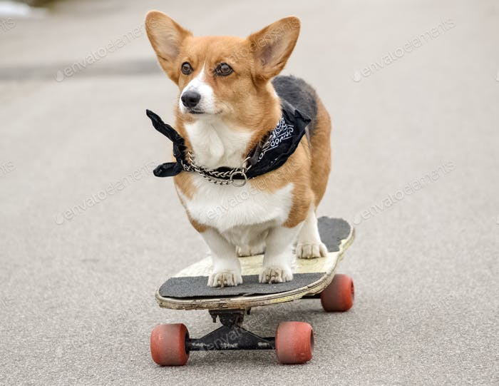 A dog skateboarding