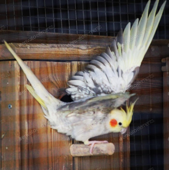 Cockatiel bird spreading her wings to fly out of the nesting box in the bird house