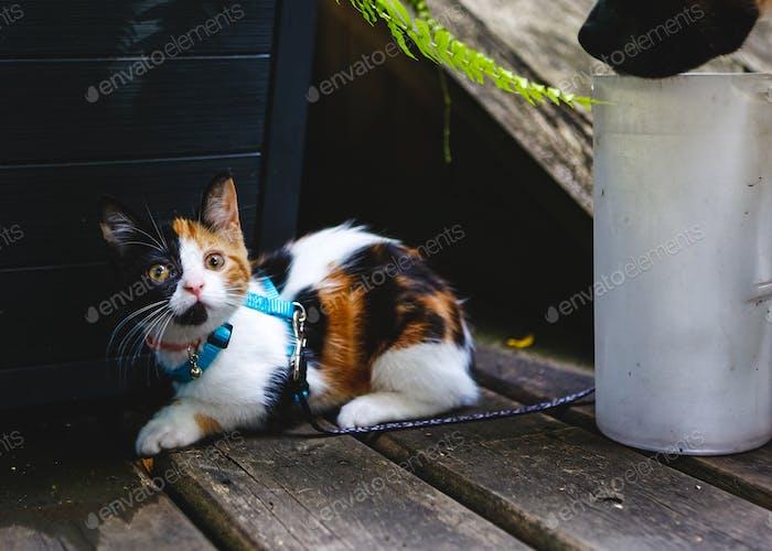 Startled Kitten on Leash