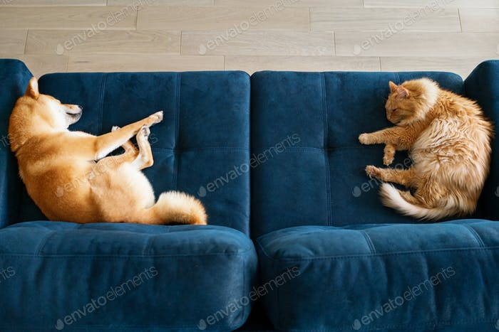 red cat and red dog shiba inu sleeping on blue sofa