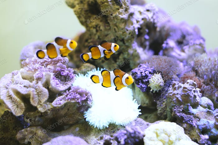 Nemo fish at aquarium