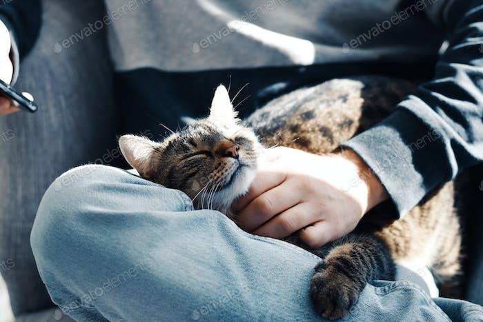 Sleeping tabby cat on man's lap