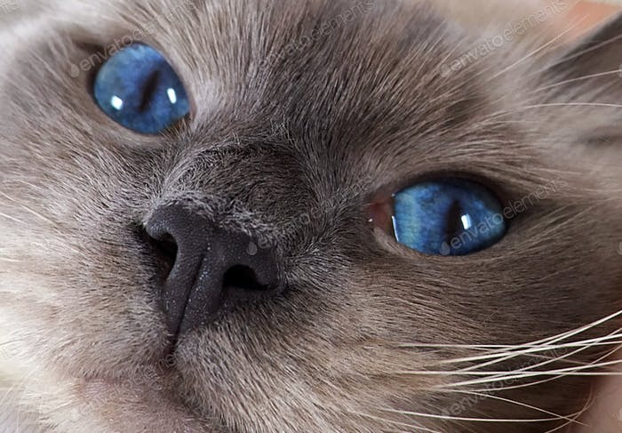 50 shades of grey...and blue 💓  Ragdoll cat with amazing eyes cuddling and purring.