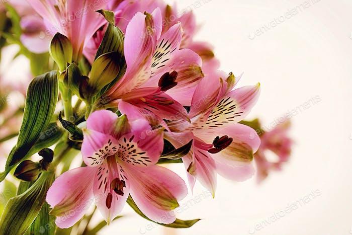 Freesias de Floración