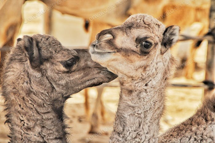 Animals Best Buddies.  Camels are familial and loyal.     Nominated🙏🐪🙏