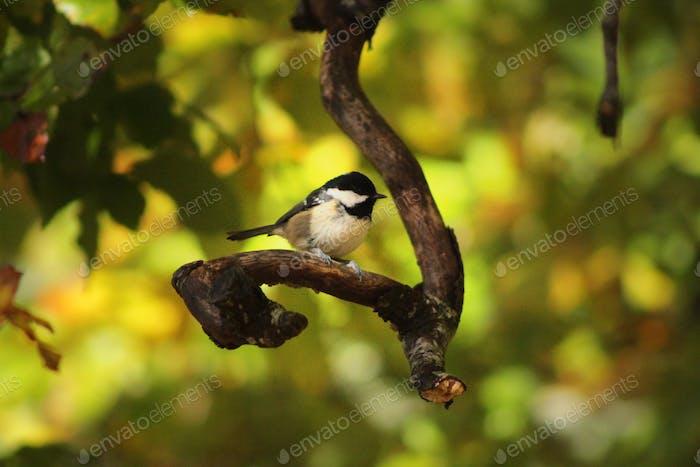 Kohlemeise in der Herbstsonne. Schöner Vogel in der Natur.