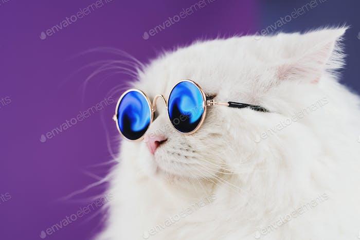 Close portrait of white furry cat in fashion sunglasses. Studio photo.