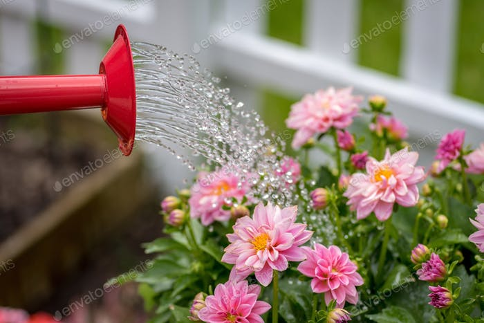 Watering pink dahlia flowers in garden with watering can