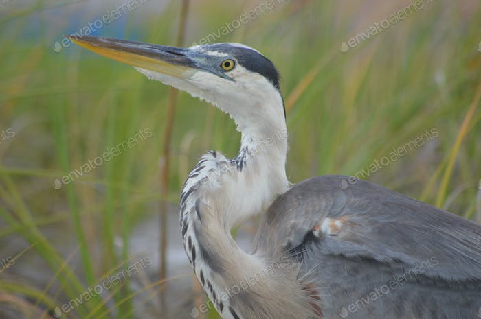 A Heron on the hunt for dinner along the shoreline.  Grey Heron of New England Nature. Birds.