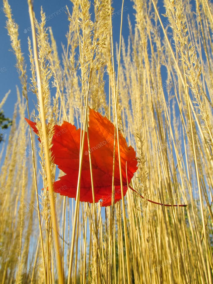 Red leaf caught in tall amber wheat waves of grain in a field on a windy day