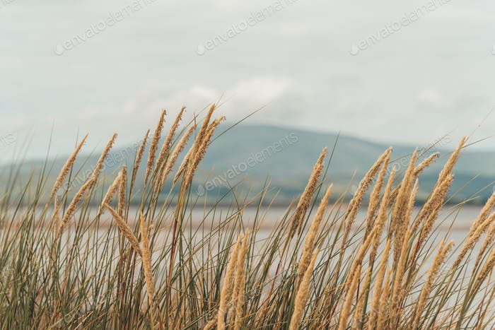 A peaceful scene. Dune grasses waving in a breeze with the hills in the distance across the bay.