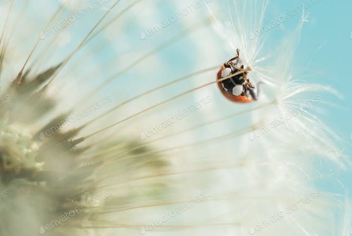 red ladybug on dandelion