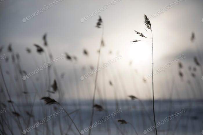 Strands of grass wheat isolated against a setting sun simple muted colors natural soft background