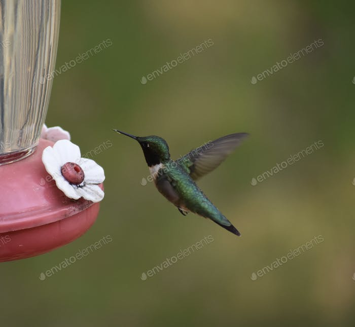 A hungry hummingbird hovers at the feeder
