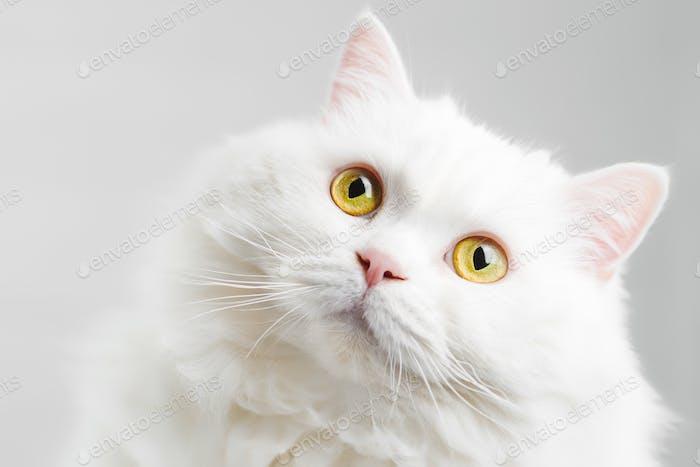 Portrait of fluffy domestic white highland straight scottish cat isolated on white studio background