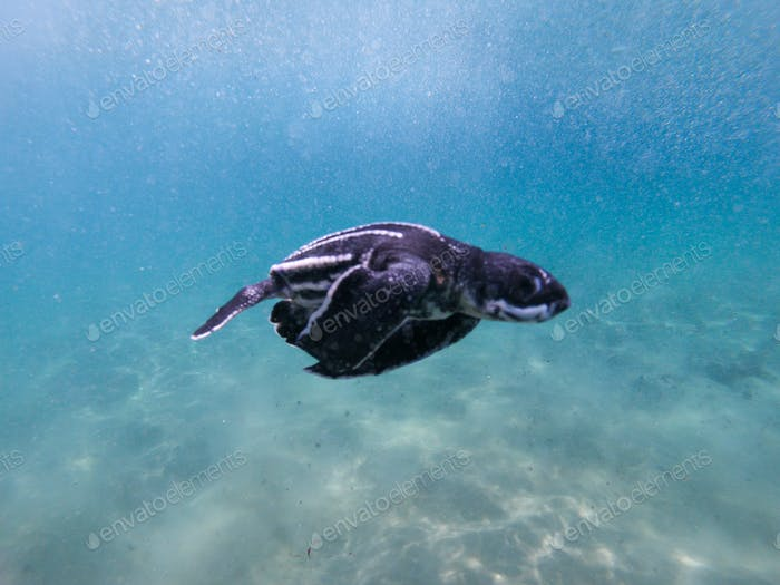 Leatherback turtle hatchling in the ocean.