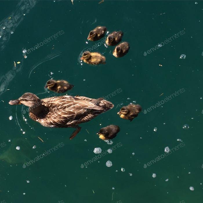 Mutter und Entenküken