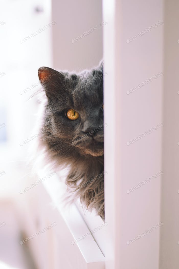 Gray fluffy cat with yellow eyes sitting on a shelf of a white kitchen cabinet and peeking out 💲